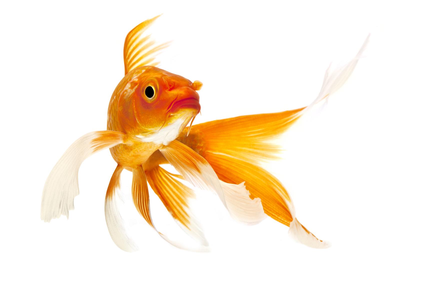 Złota rybka Lotto